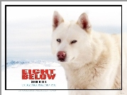 Eight Below, biały, pies