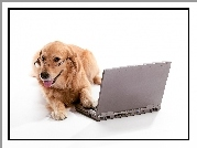 Pies, Golden retriever, Laptop