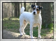 Parson Russell Terrier, Las