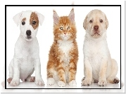 Pies, Jack Russell Terrier, Kot, Maine Coon, Labrador Retriever