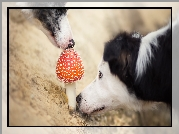 Border Collie, Muchomor