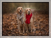 Dwa, Psy, Golden retriever, Szaliki