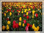 Farma, Wooden Shoe Tulip Farm, Pole, Tulipany, Stan Oregon, Stany Zjednoczone